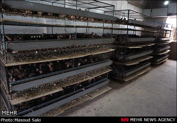 درخواست مجوز پرورش بلدرچین اصفهان قفس پرورش بلدرچین و مرغ.