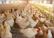 جایگزینی اسید آمینه گوگرددار ( متیونین ) با سولفات سدیم در جیره حاوی چربی جوجه های گوشتی
