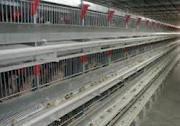 برداشت 25 هزار قطعه مرغ گوشتي پرورش يافته در قفس